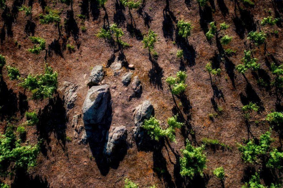 Viñedo de Alicante Bouschet y viñedo mixto tradicional en Portalegre.